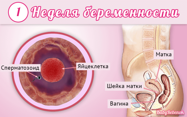 Cрок беременности 1 неделя