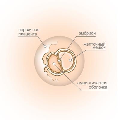 Срок беременности 4 недели