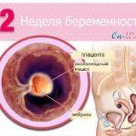 Срок беременности 2 недели